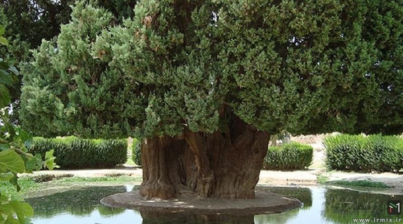 عجیب ترین درخت ایران سرو ابرکوه : تنها درخت افسانه ای ایران