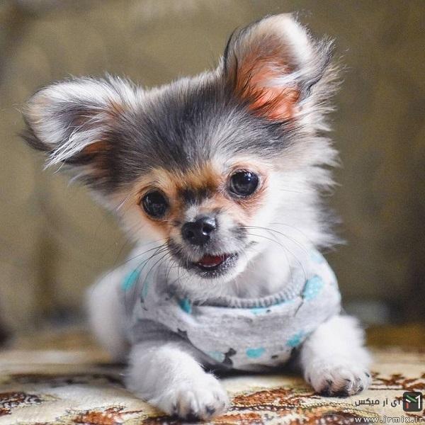 بهترین سگ برای آپارتمان