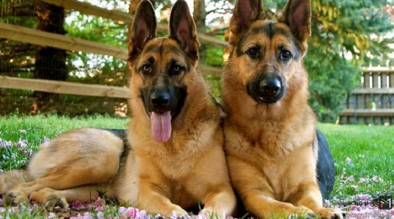 وفادار ترین نژاد سگ