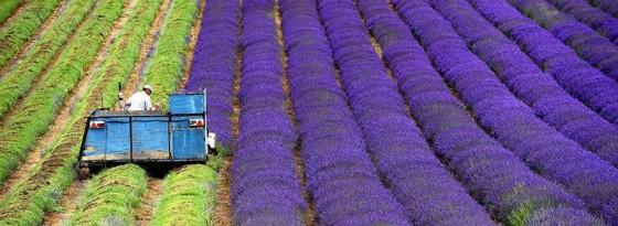 تصاویر خیره کننده از برداشت سنبل در مزارع